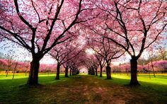 Prettiest Tree in the World | Japanese Cherry Blossom Trees