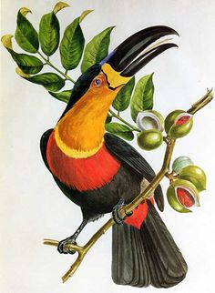Jean Theodore Descourtilz was a pioneer in the study of the natural history of the Amazon. This is his illustration: Oiseaux brillans du Brésil (Paris, 1834)