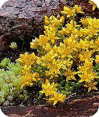 Sedum acre - Muurpeper. Sedums in potten op terras balkon onderhoudsvriendelijke planten weinig verzorging sedum soorten vetplanten