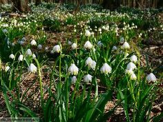 Bledule jarní,Leucojum vernum Muscari, Plants, Daffodils, Sedum, Gentian, Anthurium, Orchids, Bluebells, Nature