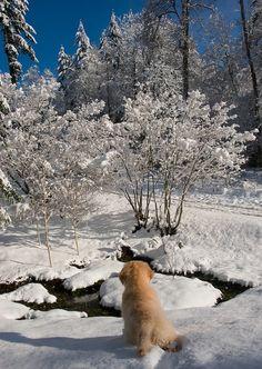 Libby in the Winter Wonderland  golden pups 1st snow