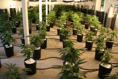 Police are asking cannabis growers if they fancy Christmas in prison