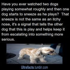 """ultrafacts: """"Some examples of calming signals dogs use to communicate peaceful intentions: Yawning- how many times has your dog yawned at the vet or when you've yelled at him ? Dogs yawn to calm. Dog Facts, Animal Facts, Animal Memes, Animals And Pets, Funny Animals, Cute Animals, Dog Yawning, Mastiff Dogs, Dog Care Tips"""