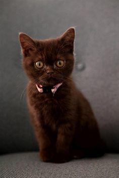 Meet Fientje...chocolate British Shorthair.