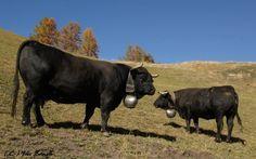Ce que je préfère après avoir passé 7 mois à observer et photographier mes vipères à travers le Valais , c'est d'aller du bas au Haut-Valais photographier les troupeaux de vaches et de prendre des images avec une certaine ambiance . Je vous présente donc...