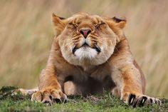 Africa | Lioness having a good stretch.  Masai Mara Game Reserve, Kenya | ©Stephan Tuengler.