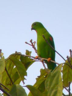 Sulawesi (large) Hanging-parrot - Loriculus stigmatus, Doloduo, Ganung Ambang, N Sulawesi, Indonesia, @ Marcel Holyoak