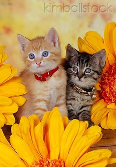 Two Kittens Sitting Together By Orange Flowers