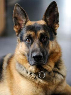 Gorgeous German Shepherd