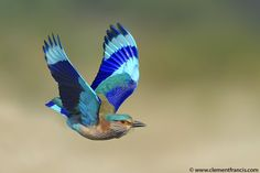 """The Indian Roller (Coracias benghalensis), is acrobatic bird, in Telugu it is called """"paala pitta"""" is a member of the roller family of birds. Deeper Shade Of Blue, Shades Of Blue, Indian Roller, Lilac Breasted Roller, Aerial Acrobatics, Indian Blue, Bird Gif, Photoshop Me, Kinds Of Birds"""
