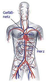 Herz- und Kreislauf | Anatomie - gesundheit.de