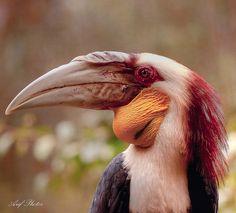 Immature Hornbill