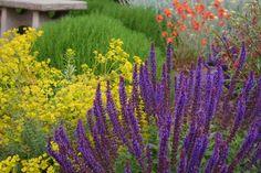 Perennial Sage  Salvia X sylvestris 'May Night'