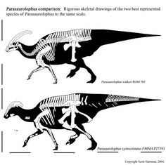 Parasaurolophus species, size comparison by Scott Hartman