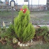 """#Concorso #GreenMarathonTappa 5 #Natale #Green Gessica: """"Il natale più ecologico che ci possa essere e quello naturale con un pino vero in giardino"""""""