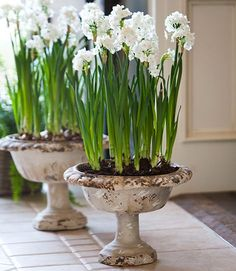 Add a bit of garden style to your decor from winter through spring with lovely paperwhites. Check out gorgeous ideas for winter decorating with paperwhites! Bulb Flowers, Faux Flowers, Flower Pots, Beautiful Flowers, Tiny White Flowers, Simple Flowers, Container Plants, Container Gardening, Urn Planters
