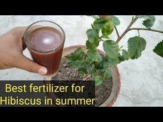 Best fertilizer for hibiscus in summer Container Gardening, Gardening Tips, Summer Youtube, Hibiscus Plant, My Flower, Flowers, Garden Compost, Garden Care, Plant Care