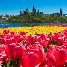 Tulips forever. #tulips #flowers #chateaulaurier #fairmontchateaulaurier #ottawa #parliamenthill #parliament #parliamentbuilding #photography #ottawalife #discoveron #ottawatourism #discoverontario #discovercanada #ottawariver #photooftheday #ottawaphotographer #ottawaphoto #myottawa #igersottawa