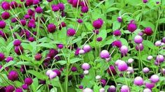 I like the bi-colored rose Gomphrena.