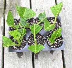 Hydrangea Propagation-this site provides step by step instructions on how to grow our own gorgeous hydrangea's from cuttings-
