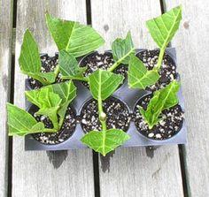 www.nantuckethydrangea.com propagation.html