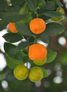 Citrus fruits are semitropical to tropical plants which usually hate cool temps. But, there are some cold hardy citrus tree varieties available. Learn what they are in this article.