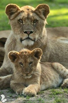 Lioness And Cub Tattoo, Lioness And Cubs, Lion Pictures, Animal Pictures, Beautiful Cats, Animals Beautiful, Cute Baby Animals, Animals And Pets, Big Cats