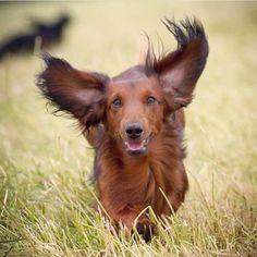 Look out! Coming through! - @mybitaanestad #Hugadachshund #dachshund #dachshunds #dachshundoftheday #dachshundsofinstagram #dachshundlove #doxie #doxies #doxiesofinstagram #doxielove #sausagedog #sausagedogs #wienerdog #dog #dogs #dogsofinstagram #dogoftheday #instagramdogs #photooftheday #picoftheday #instadaily #loveit #dogstagram #weinerdog #dachshundsonly #doxiefever #sausagedogsofinstagram #doxieobsessed #dachshundlife #dachshundlover