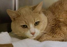 URGENT!!! Owner sur. after 12 yrs !!!!! Rugby A1065048 Help us Save NYC AC&C Shelter Cats2/24/16. Please Help Me!!!