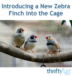 This is a guide about introducing a new zebra finch into the cage. New birds like other pets need to be introduced to resident birds to ease stress and hopefully establish a lasting companionship.