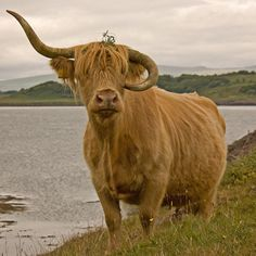 Bad horn day. Highland cow. I'm a little tea pot, short and stout. Here is my handle, here is my spout. Haha