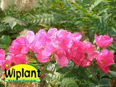 """Rosa 'Loiste' (=""""Lysande"""") är en rosbuske som växer till ca 1-1,2 meters höjd. Bladverket är mörkt grönt och friskt. Blommar från slutet av juni och blomningen fortgår i ca 1 månad. Man lägger särskilt märke till den starka blomfärgen på långt håll. Introducerades 2012 och nu börjar plantor finnas. Zon III."""