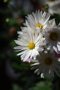 菊きく  Chrysanthemum