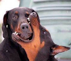 Only a Doberman owner 'gets' this - LOL