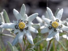 Leontopodium alpinum, Parco Nazionale dello Stelvio Nationalpark Stilfserjoch: The Protected Area