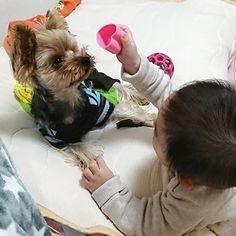 試されるアンちゃん🐶💦凛くん👦にオモチャとられても返してくれるまでひたすら待つ( ・`ω・´)キリッ✨ #yorkshireterrier #yorkie #yorkshire #yorkelife #yorkieworld #yorkienation #yorkielovers #yorkiesofinstagram #terrier #doggy #cuteyorkie #dog #dogstagram #pet #yorkielove #instdog #わんこ #愛犬 #犬 #いぬ #ドッグ #ヨークシャーテリア #ヨーキー #ペット #赤ちゃん #赤ちゃんと犬 #baby #babyanddog #犬と子供 #生後8ヶ月