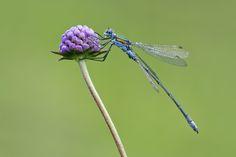 images of dragonflies and damselflies | Emerald Damselfly 5 [54 of 110]