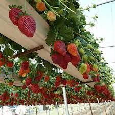 Use rain gutter on shed to grow strawberries/ pansies