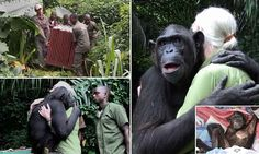 The touching moment a chimp that was nursed to health hugs its carer