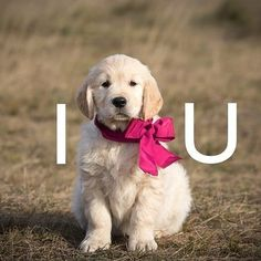 30 Cutest Golden Retriever Images That Will Make Your Day Better - Animals Comparison I Love You Puppy, I Love Dogs, Retriever Puppy, Dogs Golden Retriever, Golden Retrievers, Cute Puppies, Dogs And Puppies, Pet Dogs, Dog Cat