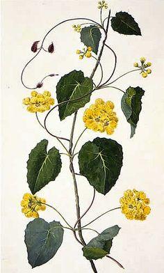Sydney Parkinson  Stigmaphyllon ciliatum  1768-71