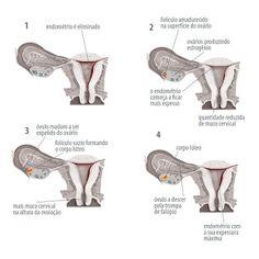 Controle de Ovulação com Ultrassom Seriado (Ovulograma): Entenda como funciona! - Da Fertilidade à Maternidade!