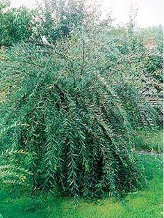 salix alba 39 tristis 39 saule pleureur en racines nues plantes fragiles saule pleureur salix. Black Bedroom Furniture Sets. Home Design Ideas