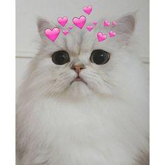 Cute Cat Memes, Cute Love Memes, Cute Funny Animals, Cute Cats, Funny Cats, Kittens Cutest, Cats And Kittens, Cat Icon, Super Cat