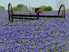 """knee-high and the blooms are """"plump and juicy,"""" says Sandy Anderson, who for 20 years has been chairman of the Ennis Bluebonnet Trails, a project of the Ennis Garden Club.  Gina Rokas, the city's tourism director, and Anderson are among the enthusiasts who scout roads daily to pinpoint the most picturesque wildflower scenes for tourists.  On an unfenced hillside along Sugar Ridge Road where families nestle children into the plants to snap photos, the people scenes are almost as captivating…"""