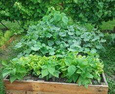 Magasan a legjobb! – A napfény illata Diy Bed, Raised Garden Beds, Celery, Herbs, Vegetables, Garden Ideas, Gardening, Lawn And Garden, Herb