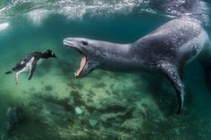 A leopard seal reaches to bite a penguin as it swims through the sea in Port Lockroy, Antartic Peninsula. (Photo by Wiktor Skupinski/Barcroft Media)