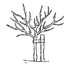 Pruning fruit trees