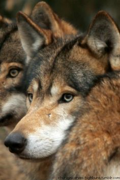 Wolves kill the weak and the sick; they make the herds stronger.  Hunters kill the biggest and best; they are the ones who weaken the herds.  Wolves hunt for food and never take more than they need.