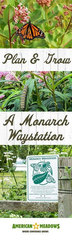 Learn how to plan and grow a Monarch Waystation that will pass Monarch Watch's official certification process. We'll show you how!